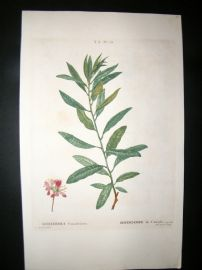 Redoute C1800 H/Col Botanical Print. Rhodora Canadensis. Canadian Rhododendron